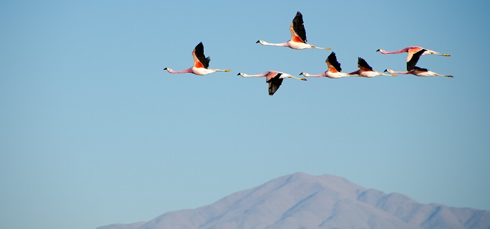 flamingoes migrating over mountain