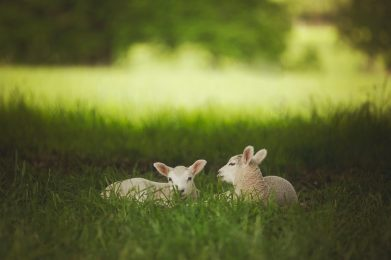 two lambs on grass